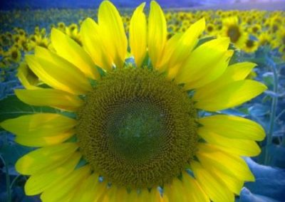 Sonnenblumen11