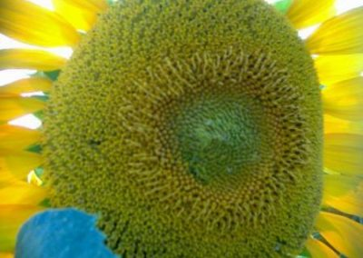 Sonnenblumen13