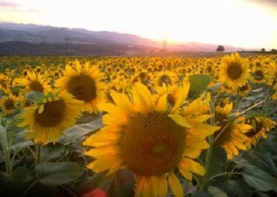 Sonnenblumen3