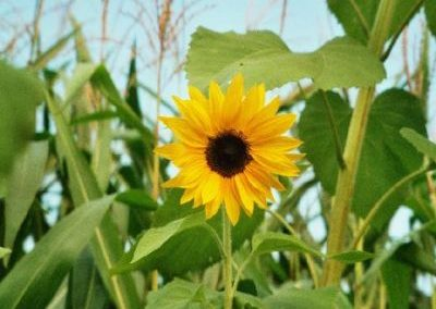Sonnenblumen4