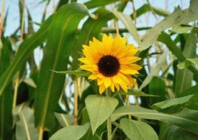 Sonnenblumen5