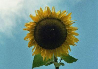 Sonnenblumen6