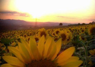 Sonnenblumen7
