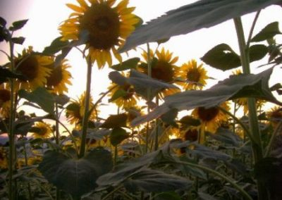 Sonnenblumen8