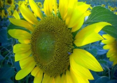 Sonnenblumen9